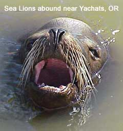 Sea Lions abound on the Oregon Coast near Yachats, OR